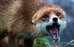 У контактний спосіб людей найчастіше інфікують коти й собаки -  з-поміж свійської фауни, а в дикій природі - лисиці та вовки.