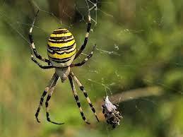 Павук -зебра (павук-оса)