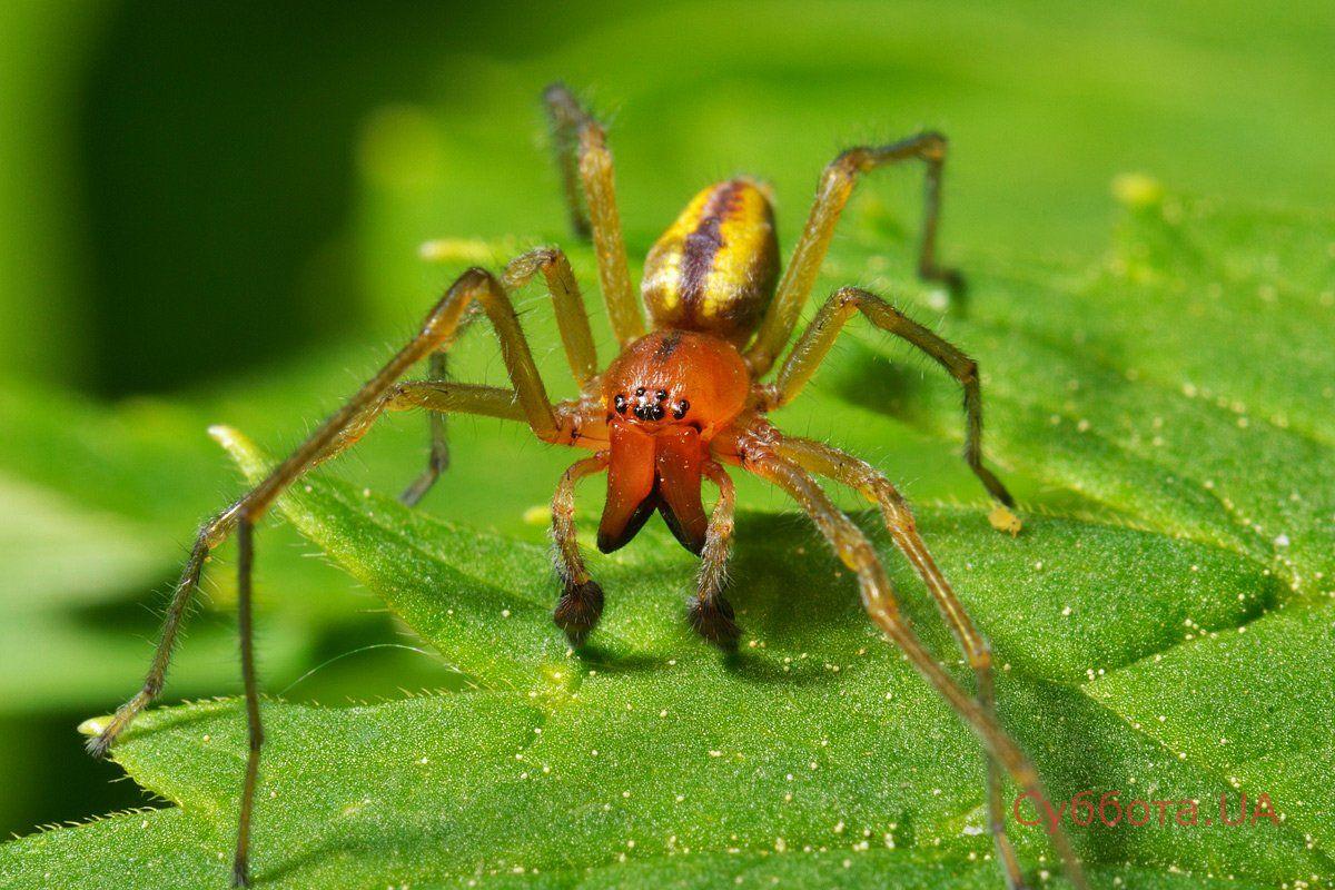 Павук САК