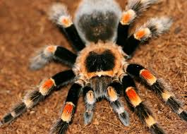 Павук тарантул